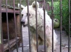 Ta medved je 30 let živel v kletki. Poglejte, kaj se zgodi, ko je končno izpuščen