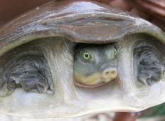 Policisti rešili življenja več kot 6.000 želvam, ki jih je čakal zakol ...