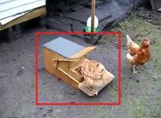 To je nov izum za hranjenje kokoši. Kmetje so navdušeni ...