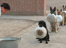 Ti policijski psi čakajo v vrsti na hrano