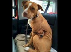 Posvojen pitbull noče zapustiti zavetišča brez svojega najboljšega prijatelja.