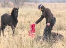 Veterinar najde konja, ki je bil privezan z verigo. Ko ga osvobodi, mu konj pokaže hvaležnost ...