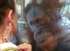 Žrtev požara se v živalskem vrtu približa orangutanu. Njegova čustvena reakcija na brazgotine vzame vsem sapo ...