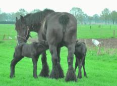Kobila skotila dvojčka. Poglejte njihovo družinsko idilo zgolj 4 dni kasneje ...
