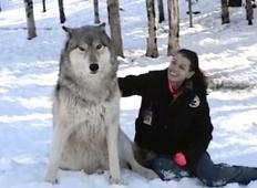 Ogromna volkova pristopila do ženske v gozdu. Ne boste verjeli, kaj sta storila potem ...