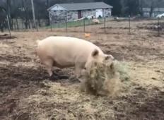 Lastnica kmetije je bila zaskrbljena, ko je pujsek začel grabiti seno. Toda ko ga je odnesel v hlev, ji je zlomilo srce ...