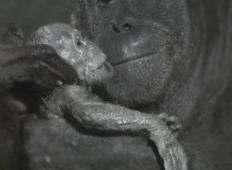 Prvič v zgodovini so ujeli rojstvo mladička orangutana. Mama je takoj ponosno šla pokazat svojega mladička ljudem ...
