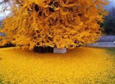 Tole drevo je staro 1400 let, preživelo je atomsko bombo - in vsako jesen pripravi pravi spektakel