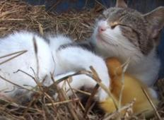 Mačka ukrade novorojene račke - nihče jih ne more najti, nato pa 6 ur kasneje...
