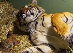 Ena najbolj redkih vrst tigric na svetu je skotila dvojčke. Mladiček ni dihal, toda mama je nato z eno potezo rešila njegovo življenje ...