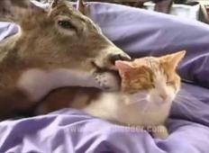 Ljubeča družina je posvojila ranjenega jelenčka. Ne morejo verjeti, kaj se je zgodilo, ko se je spoznal z njihovo mačko ...