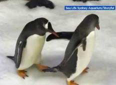 Istospolna pingvina sta postala starša. Poglejte, kako jima je to uspelo ...