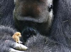 200-kilogramska gorila ima prijateljico, ki tehta samo 200 gramov. Poglejte, kako skrbi za njo ...