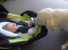 Novorojenček prvič pride v domačo hišo. Reakcija družinskega zlatega prinašalca je izjemna ...