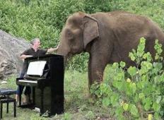 Slepa 80-letna slončica, ki so jo mučili, sliši igranje klavirja. Iz oči ji začnejo tečti solze ...