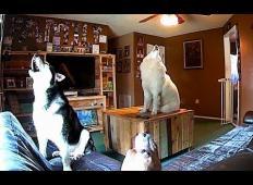 Trje kužki so bili sami doma. Nastavil je skrito kamero in poglejte, kaj so počeli ...