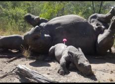 Krivolovci ustrelili nosorogovo mamo. Mali nosorog jo je moral gledati, kako umira in začel jokati ...