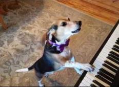 Ta kužek poje in igra na klavir. Ko ga boste videli in slišali ...