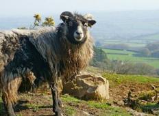 Na škotskem otoku iščejo novega pastirja za 2500 ovac! Kdo se javi?