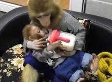 Prizor, ki je raznežil cel svet. Mama opica hrani svojega mladička z neverjetno ljubeznijo!