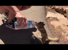 Veverica prišla do turista in ga prosila za vodo. Poglejte, kako se je odžejala