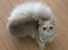 Tale mačka je čudovita lepotica in je podobna veverički. Poglejte jo od bližje!
