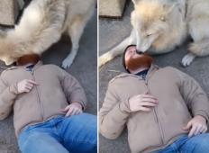 Volk je prišel do človeka, ki je ležal na tleh ... Trenutek kasneje je naredil nekaj ZELO simpatičnega!