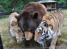 Lev, tiger in medved so bili skupaj zaprti in mučeni v kleti hiše. Ko končno pridejo na svobodo, se ne morejo ločiti!