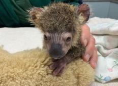 Junaška psička iz hudega požara rešila koalo, ki bi sicer umrla. Tehtala je zgolj 275 gramov, toda poglejte to malo junakinjo danes!