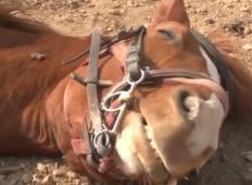 Tale konj je resnično nekaj IZJEMNO posebnega. Ko se mu ne da trenirati, se dela, da je OMEDLEL!