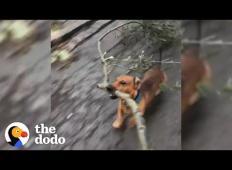 Majhen kužek neizmerno rad nabira velike kose vej ... Večje kot so, bolj uživa!