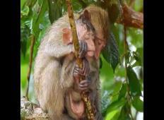 Izjemno ganljiv posnetek: opica med nevihto ščiti svojo prestrašeno hčer