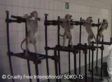Posnetki, ki šokirajo. Tako opice uporabljajo kot testne živali v laboratoriju ...