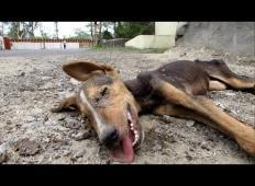 Shiran kužek je ležal sredi ceste. Ko so mu priskočili na pomoč, je naredil nekaj čudovitega!