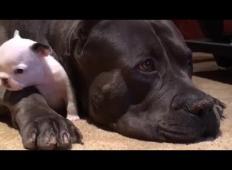 Ogromen pes na očarljiv način ščiti svojega mladiča. Je lahko še kaj lepšega?