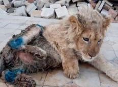 Majhnega leva so ukradli mami, da bi poziral turistom. Zlomili so mu nogo, toda potem ...