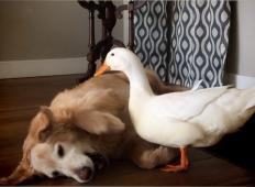 Pes in raca sta nerazdružljiva prijatelja. To je res NEVERJETNO!