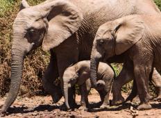 V živalskem vrtu se je skotilo rekordnih 140 slonov. To je res NEVERJETNO!