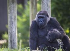 Poglejte si najmlajšo gorilo na svetu, katero mama objema več ur. Res je ljubka!