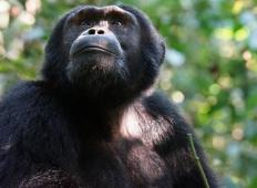 Uganda bo posadila 3 milijone dreves. Ali je to eden od načinov za pomoč ogroženim šimpanzom?