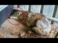 Nikomur ni bilo mar za tega volka, ki je ležal v jarku, dokler do njega niso prišli ...