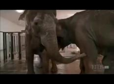 Slončici so v crikusu ločili. Po 22 letih sta se ponovno srečali!