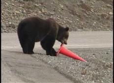 Na Aljaski posneli medveda. Poglejte, kaj je storil s prevrnjenim stožcem!