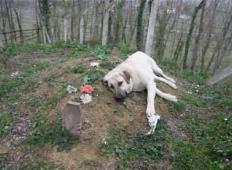 Ta pes je izredno zvest. Odkar je njegov gospodar umrl, vsak dan stori tole!