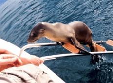 Poškodovan morski lev skočil na čoln, da bi mu ljudje pomagali!